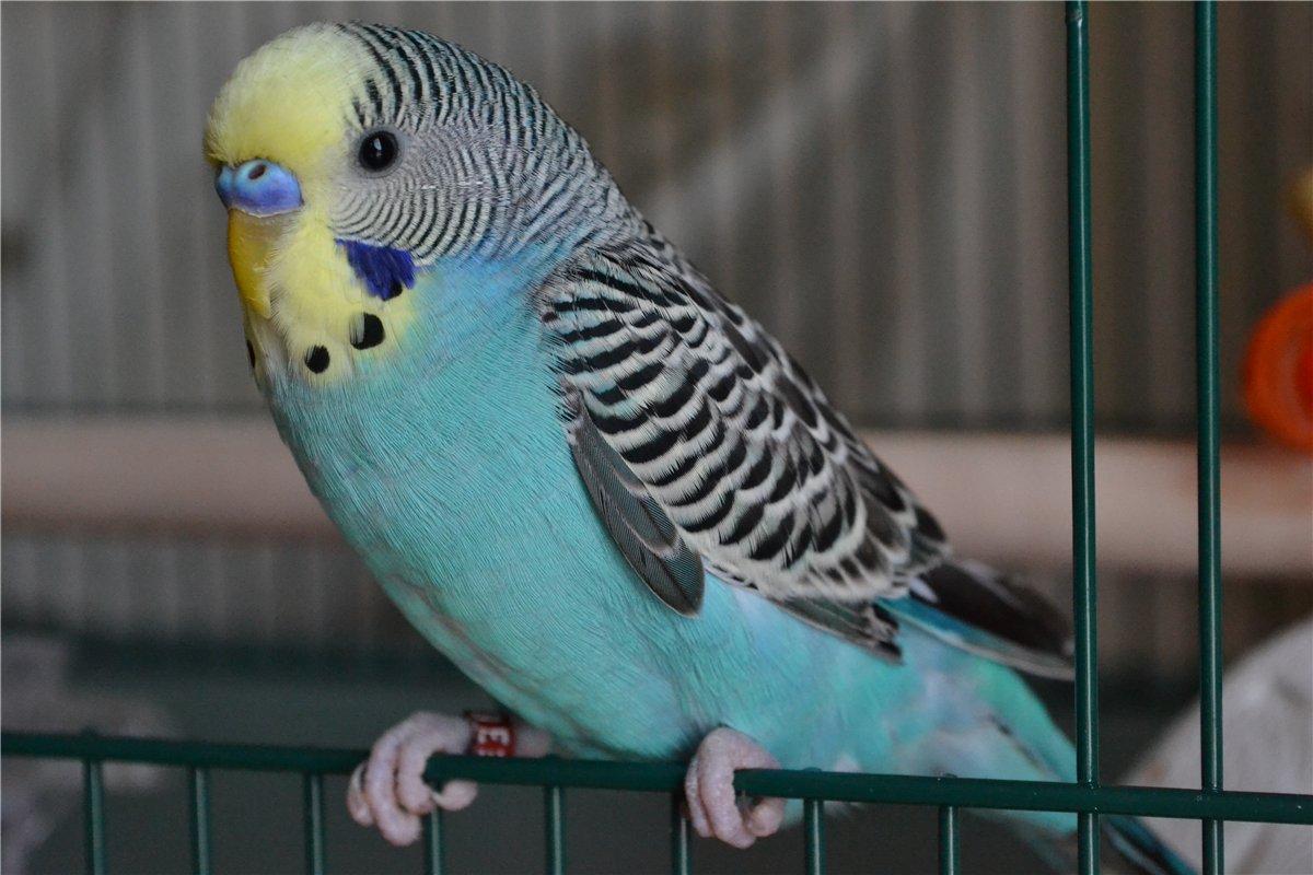 goluboj-volnistyj-popugaj